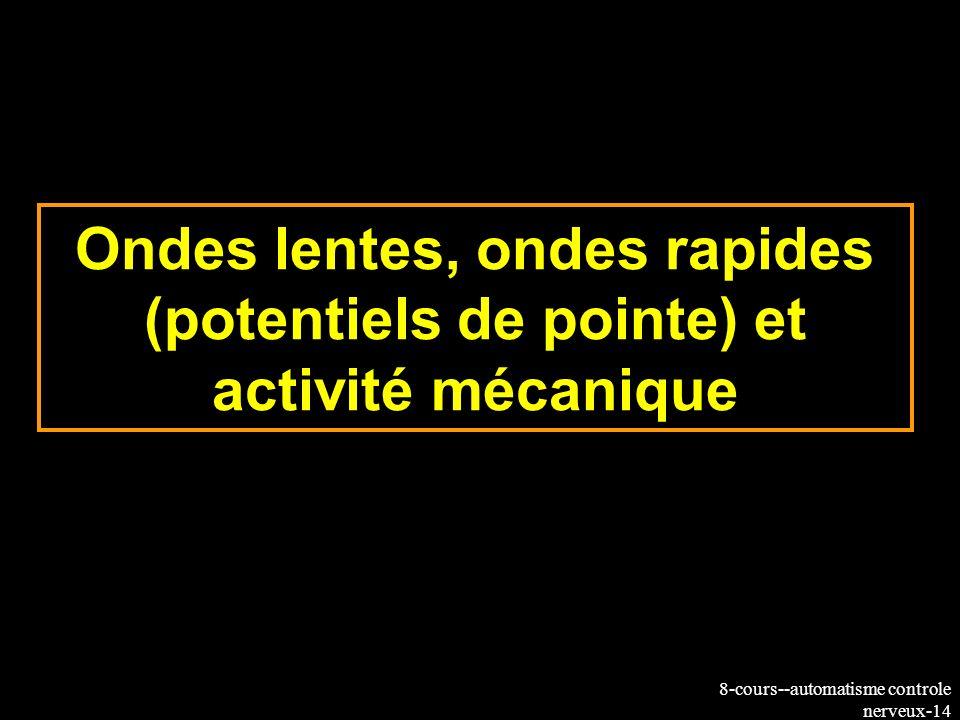 Ondes lentes, ondes rapides (potentiels de pointe) et activité mécanique