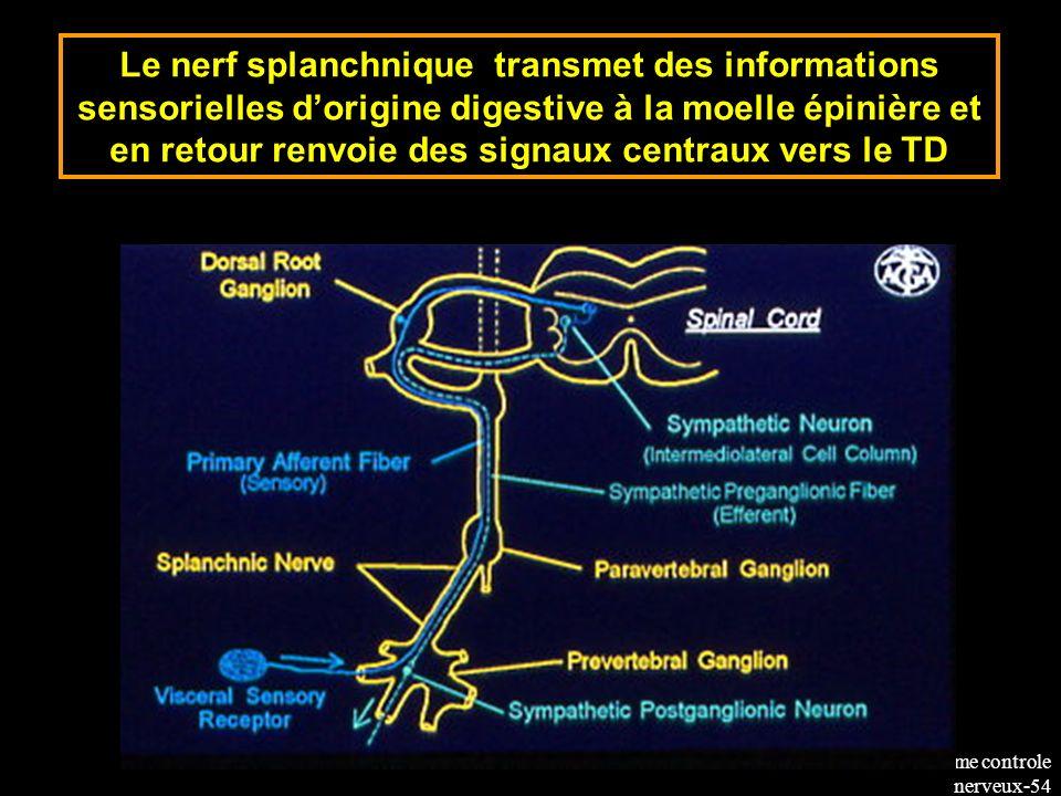 Le nerf splanchnique transmet des informations sensorielles d'origine digestive à la moelle épinière et en retour renvoie des signaux centraux vers le TD