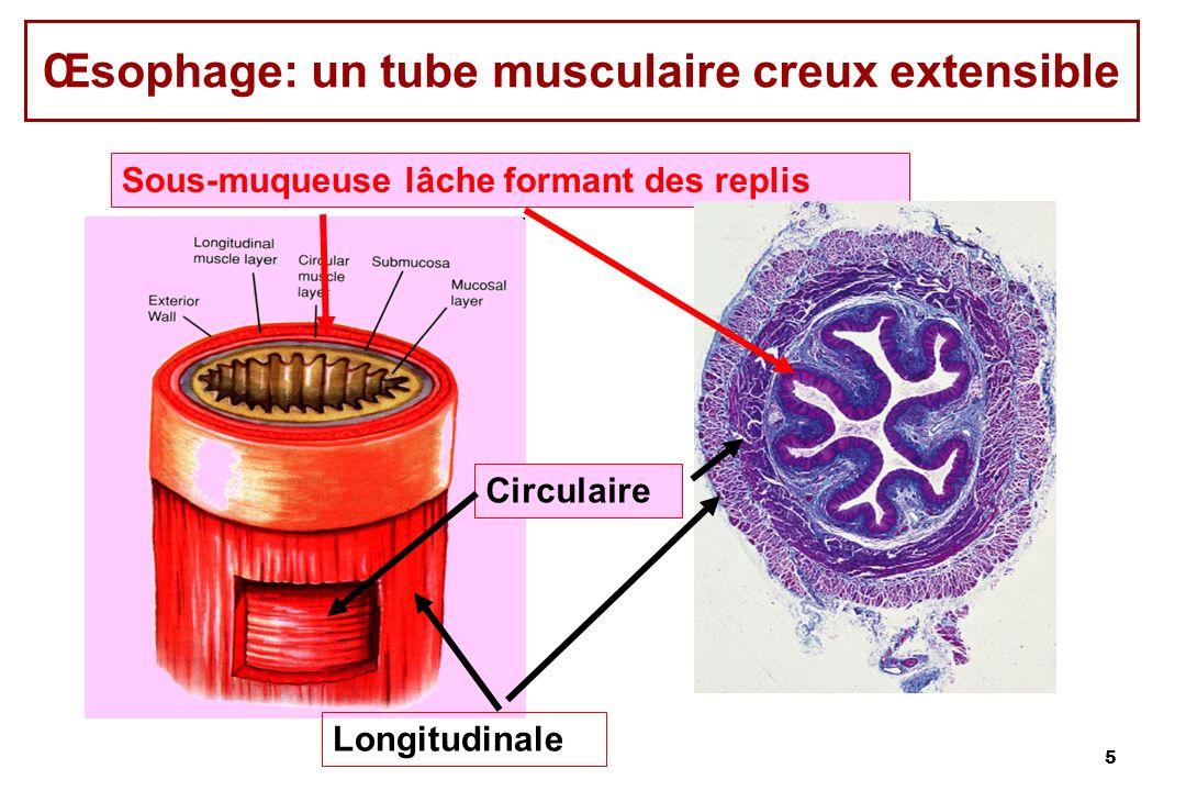 Œsophage: un tube musculaire creux extensible