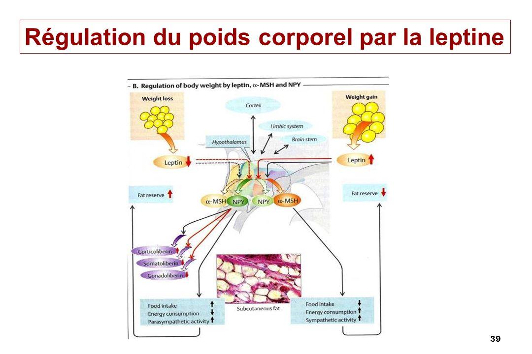 Régulation du poids corporel par la leptine