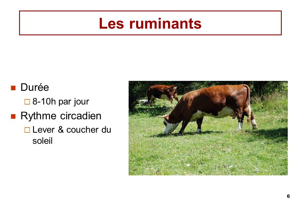 Les ruminants Durée Rythme circadien 8-10h par jour