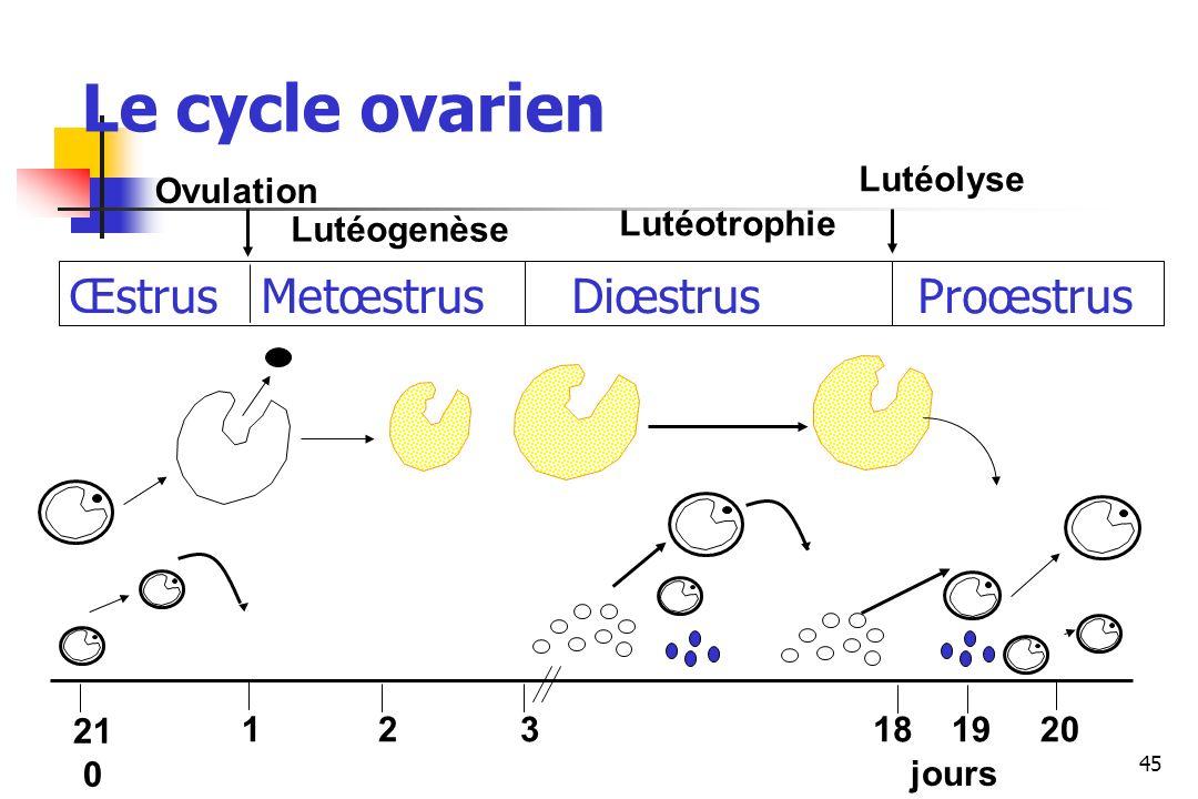 Le cycle ovarien Œstrus Metœstrus Diœstrus Proœstrus Lutéolyse