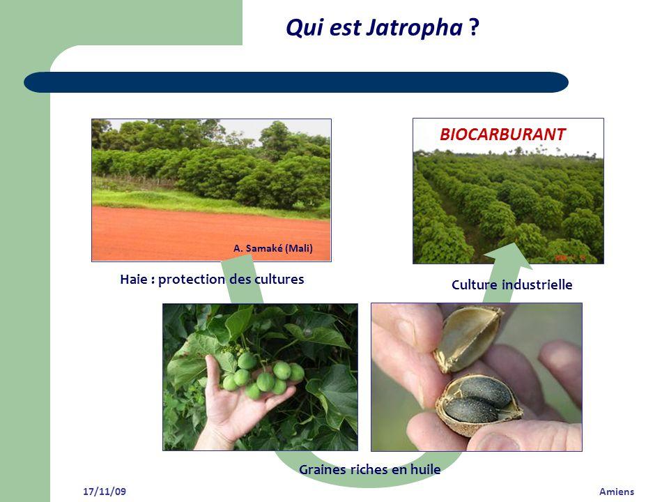Qui est Jatropha BIOCARBURANT Haie : protection des cultures