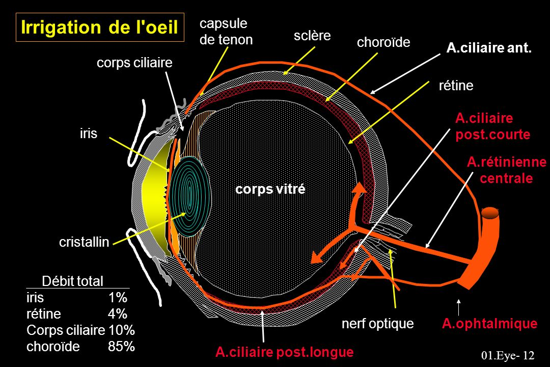 Irrigation de l oeil capsule de tenon sclère choroïde A.ciliaire ant.
