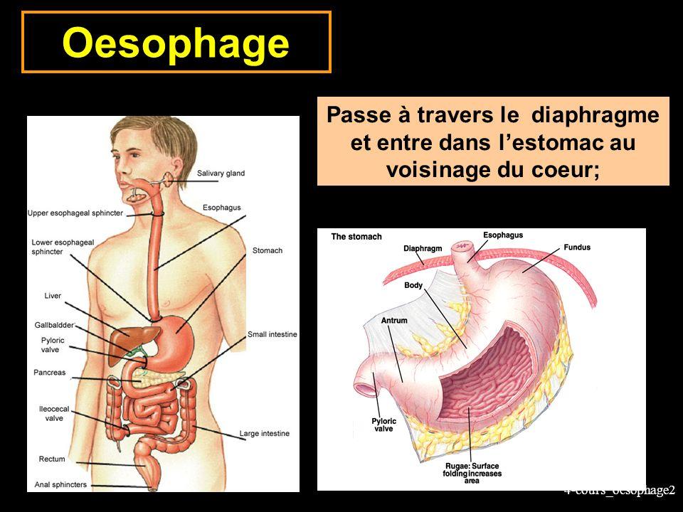 Oesophage Passe à travers le diaphragme et entre dans l'estomac au voisinage du coeur;