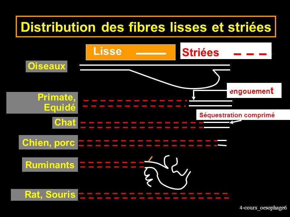 Distribution des fibres lisses et striées