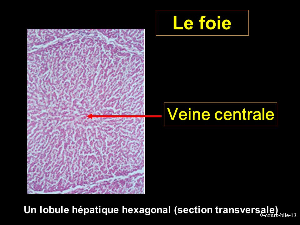 Le foie Veine centrale Un lobule hépatique hexagonal (section transversale)