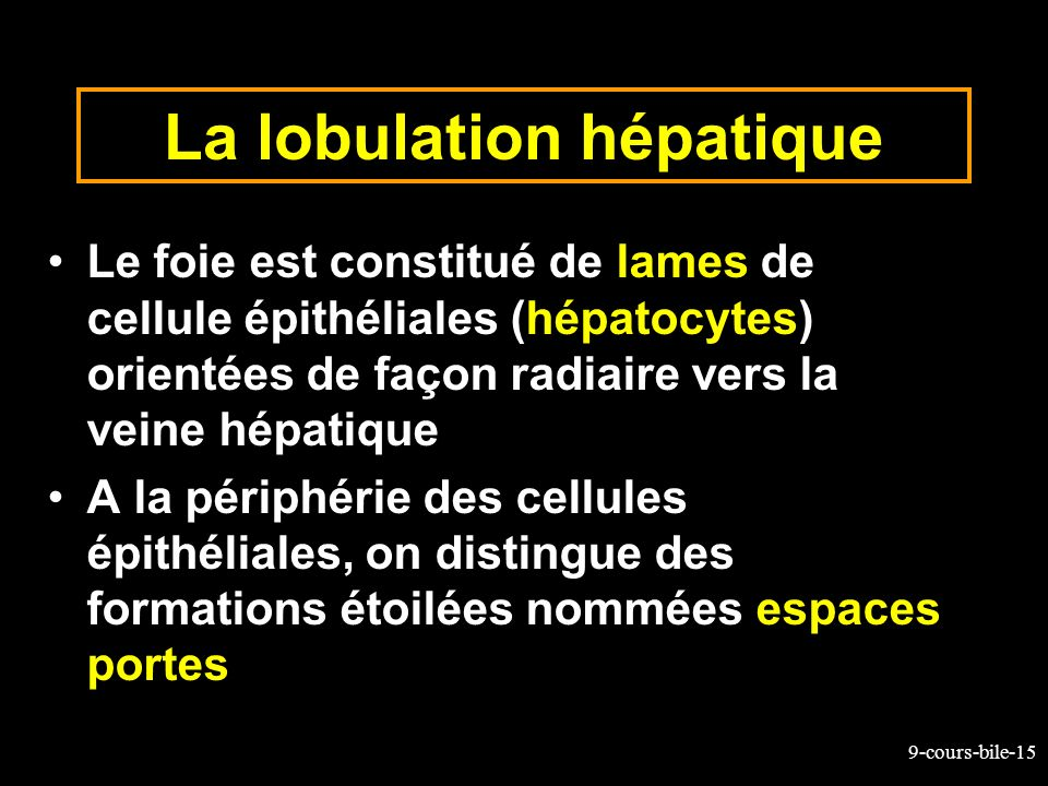 La lobulation hépatique