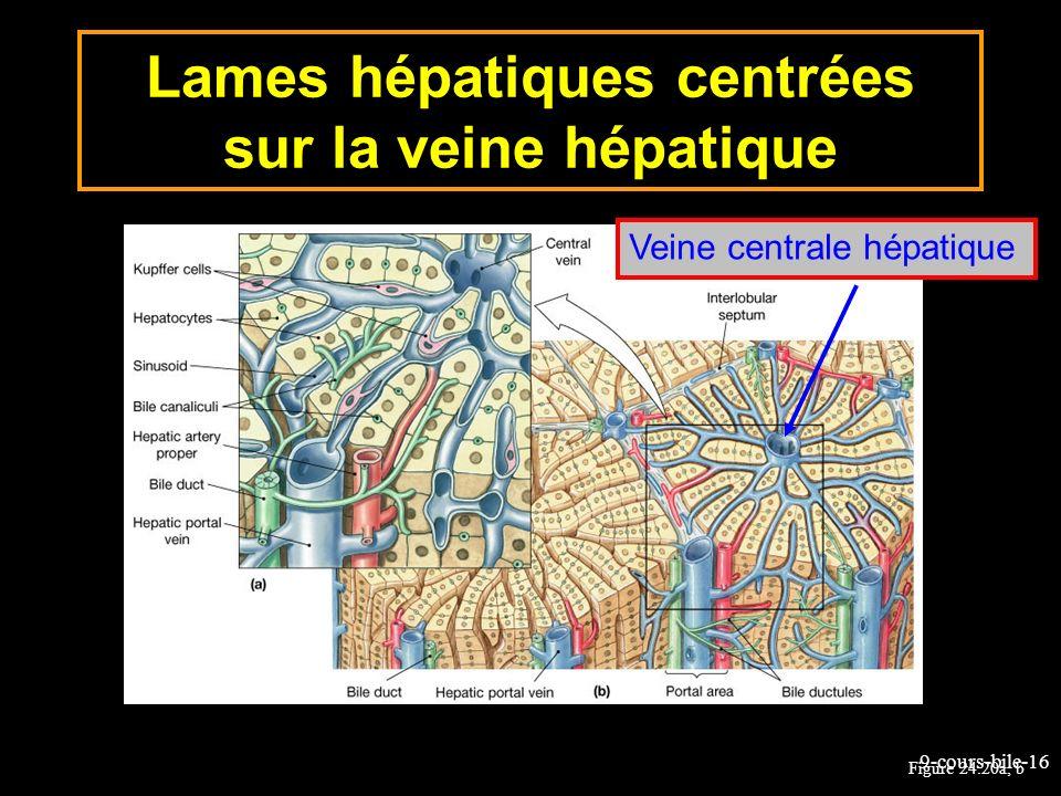 Lames hépatiques centrées sur la veine hépatique