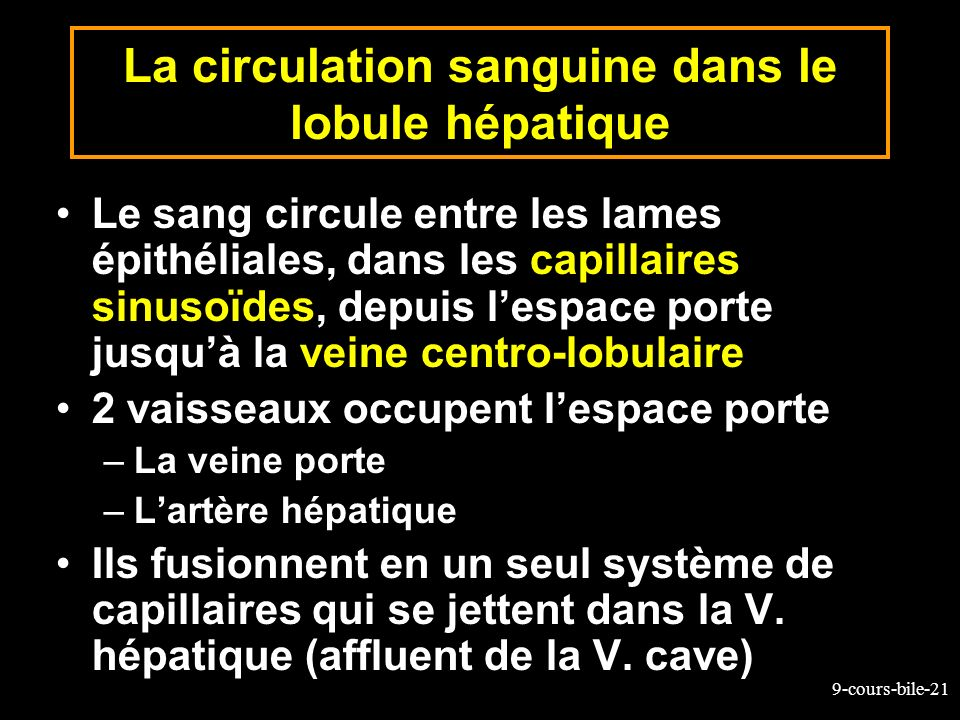 La circulation sanguine dans le lobule hépatique