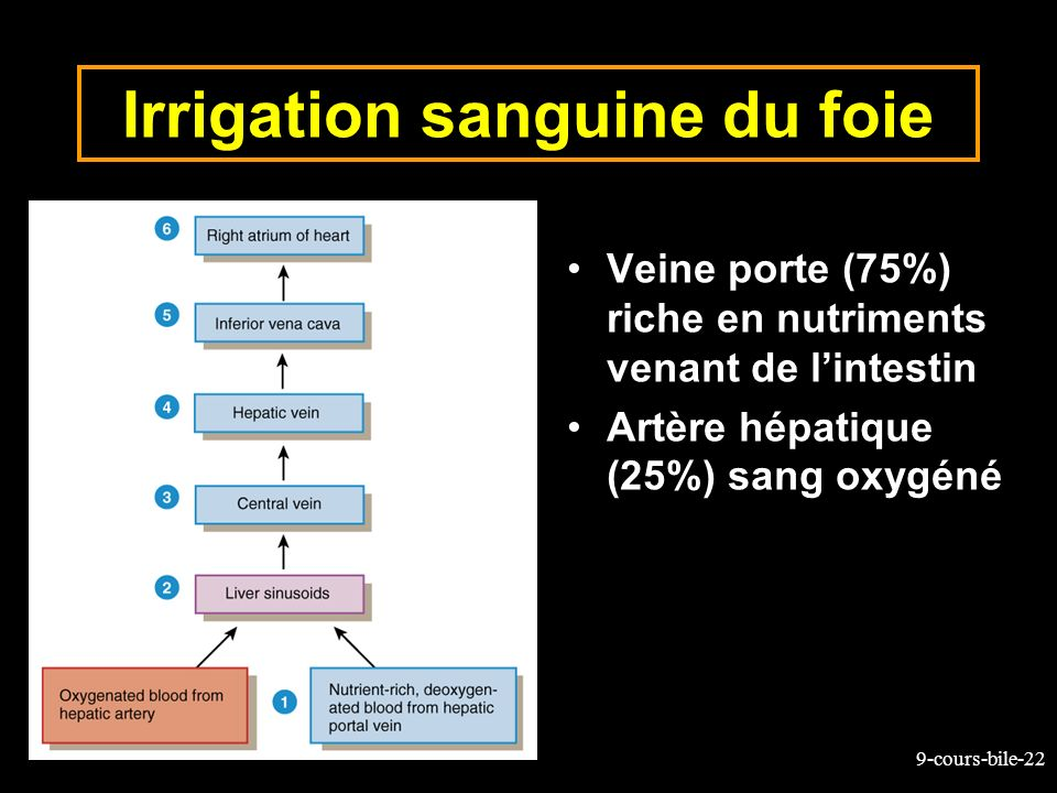 Irrigation sanguine du foie