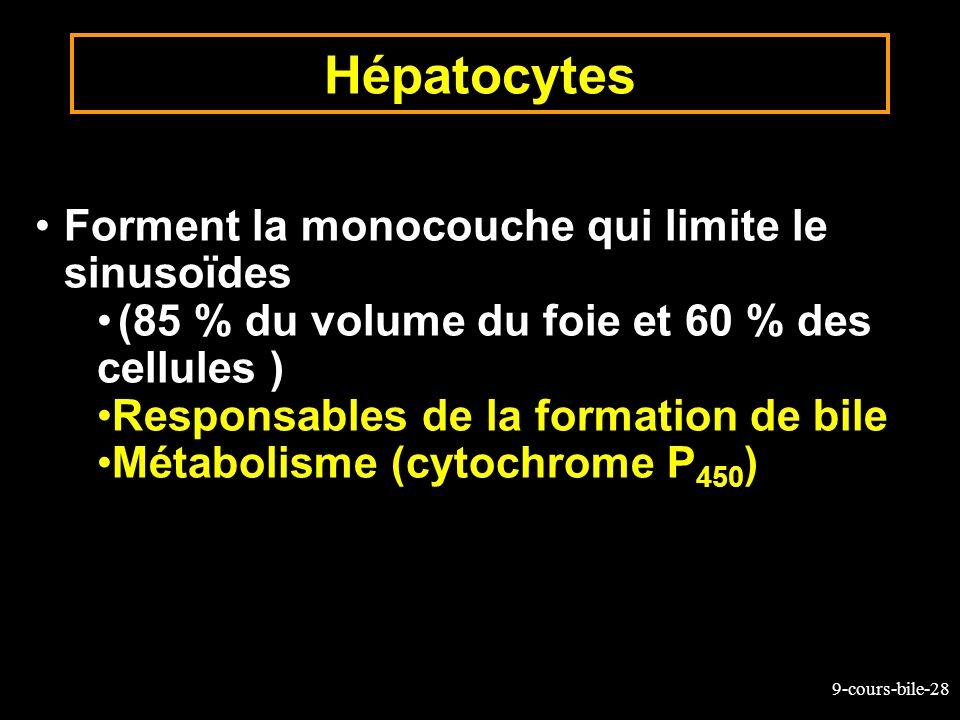 Hépatocytes Forment la monocouche qui limite le sinusoïdes