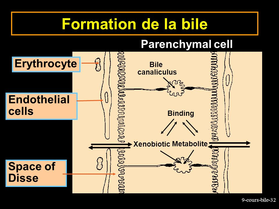 Formation de la bile Parenchymal cell Erythrocyte Endothelial cells