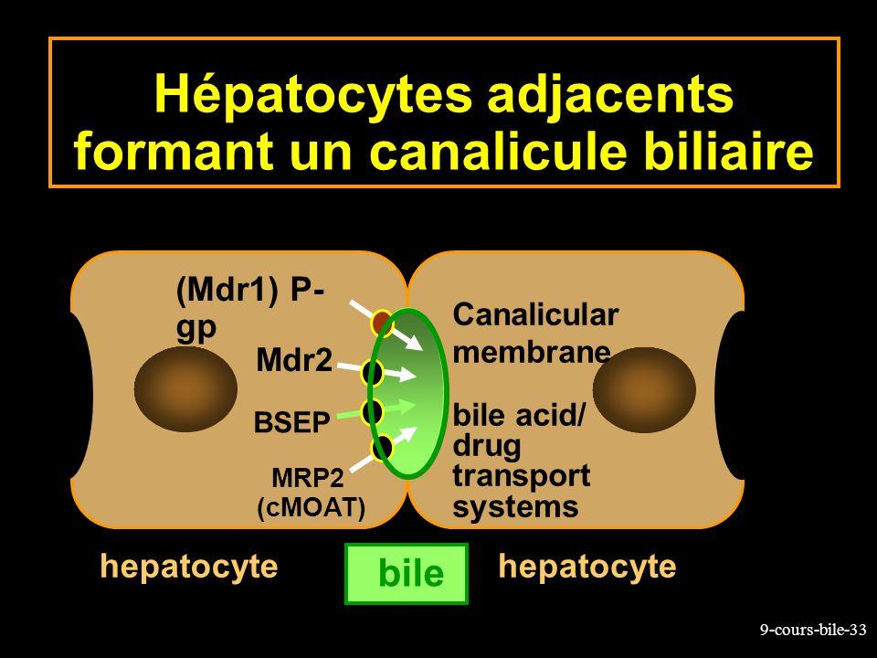 Hépatocytes adjacents formant un canalicule biliaire
