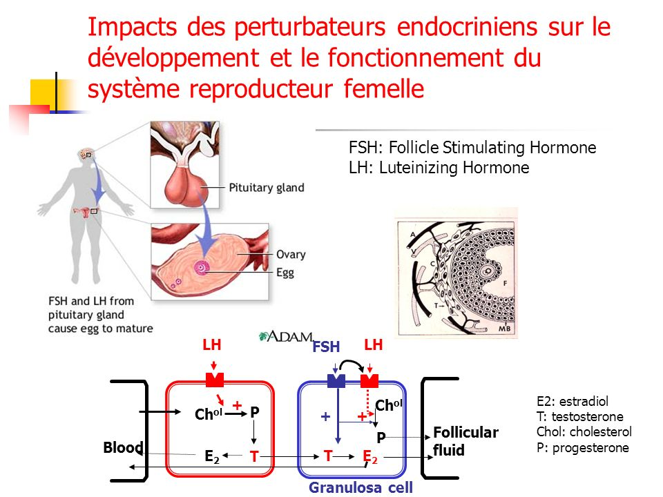 Impacts des perturbateurs endocriniens sur le développement et le fonctionnement du système reproducteur femelle