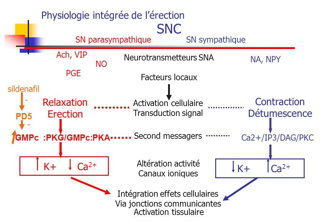 Physiologie intégrée de l'érection