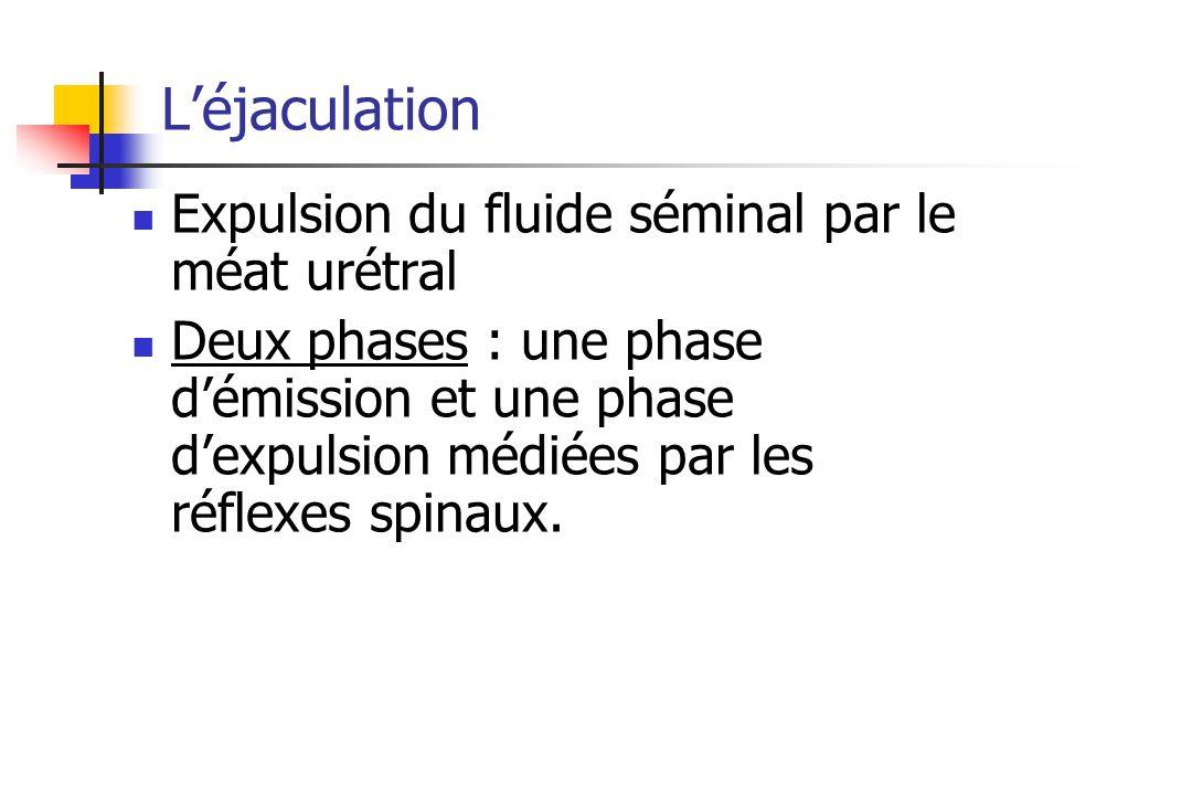 L'éjaculation Expulsion du fluide séminal par le méat urétral