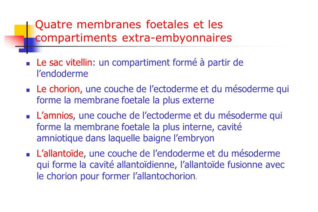Quatre membranes foetales et les compartiments extra-embyonnaires