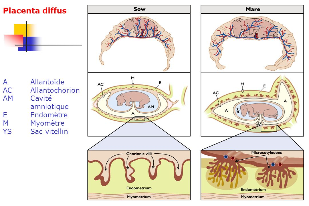 Placenta diffus A Allantoïde AC Allantochorion AM Cavité amniotique