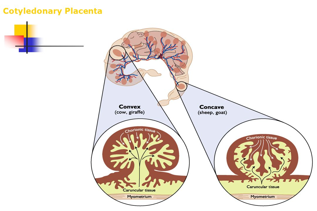 Cotyledonary Placenta