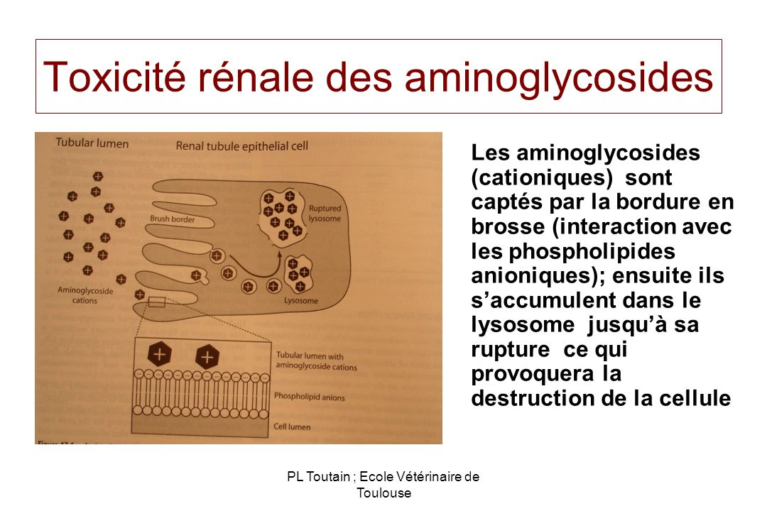 Toxicité rénale des aminoglycosides