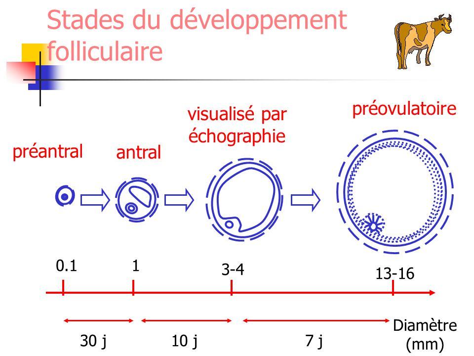 Stades du développement folliculaire