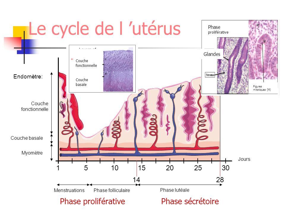 Le cycle de l 'utérus Phase proliférative Phase sécrétoire 1 5 10 15