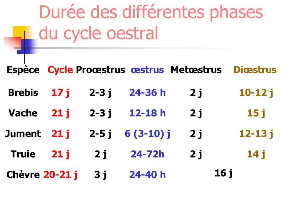 Durée des différentes phases du cycle oestral