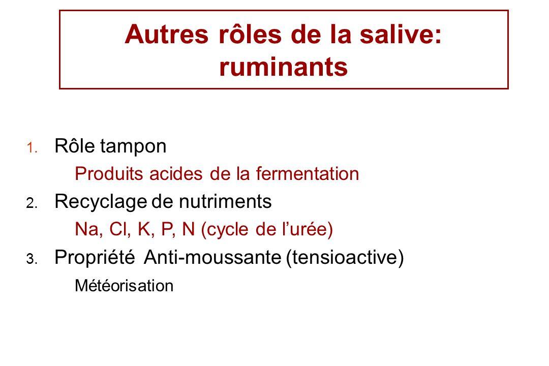 Autres rôles de la salive: ruminants