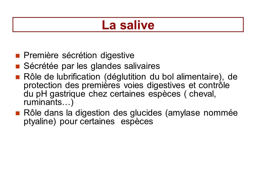 La salive Première sécrétion digestive