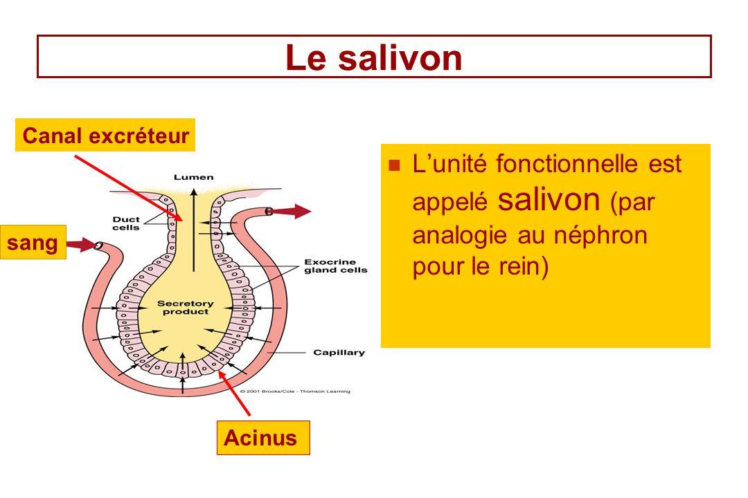 Le salivon Canal excréteur. L'unité fonctionnelle est appelé salivon (par analogie au néphron pour le rein)