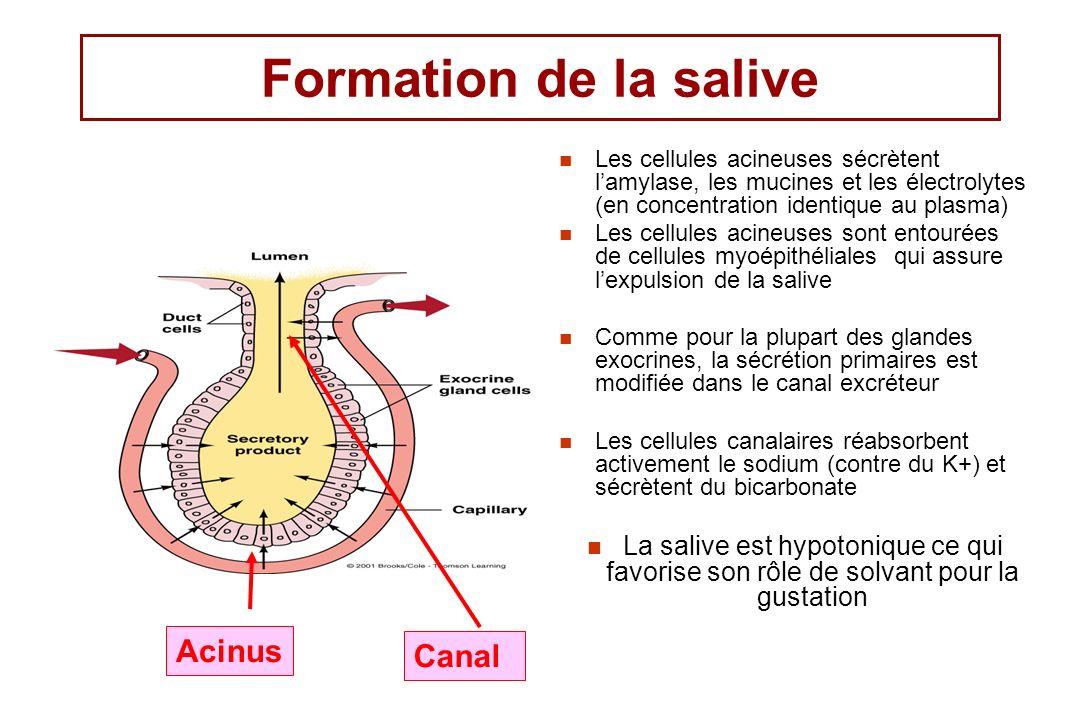 Formation de la salive Acinus Canal