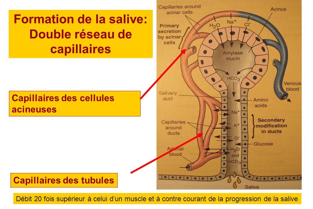 Formation de la salive: Double réseau de capillaires