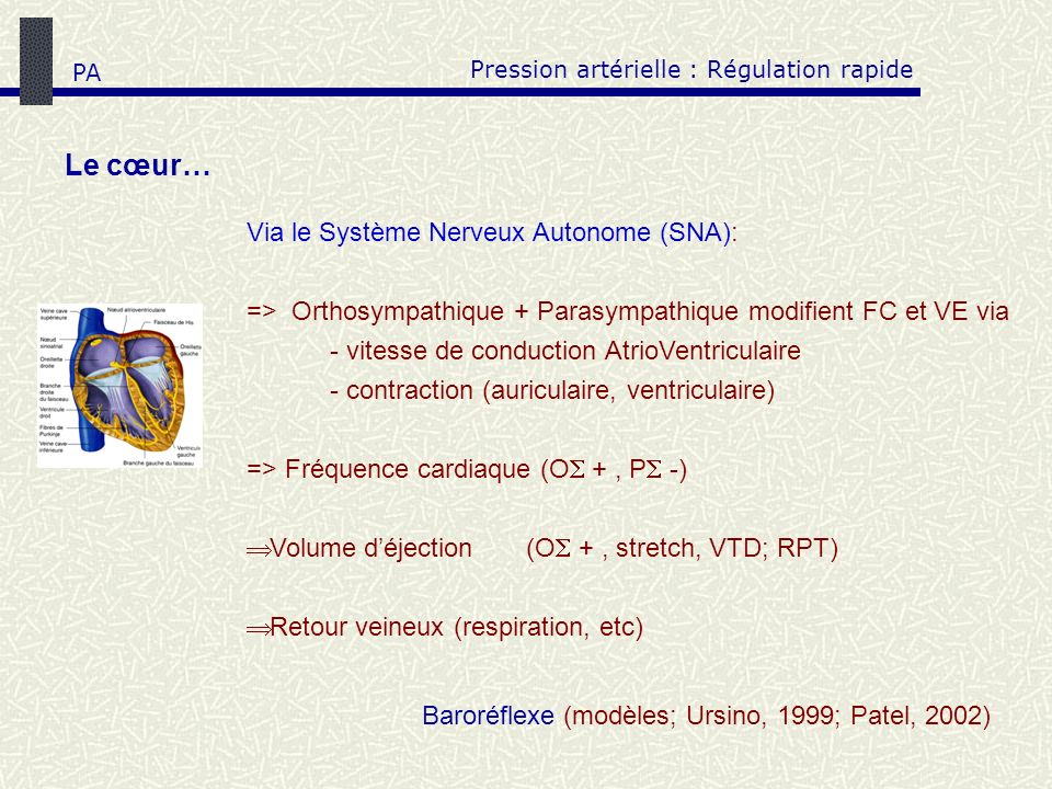 Pression artérielle : Régulation rapide