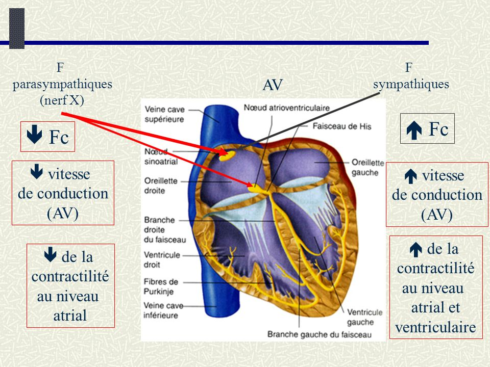  Fc  Fc AV  vitesse  vitesse de conduction de conduction (AV) (AV)