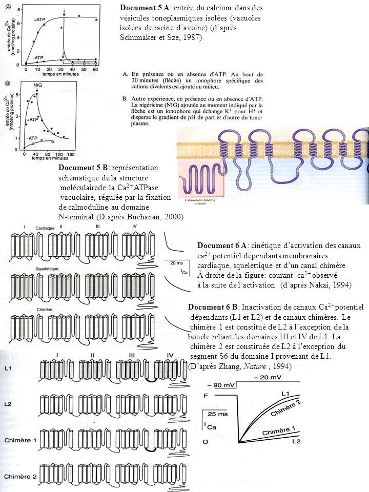 Document 5 A: entrée du calcium dans des vésicules tonoplasmiques isolées (vacuoles isolées de racine d'avoine) (d'après Schumaker et Sze, 1987)