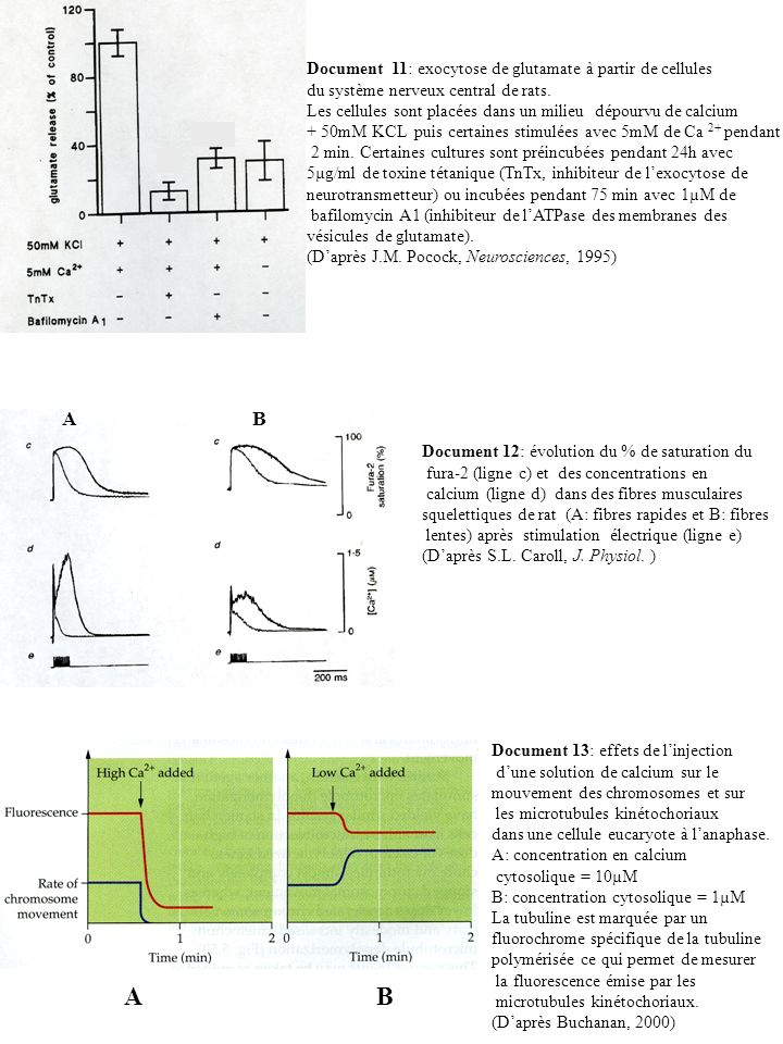 A B A B Document 11: exocytose de glutamate à partir de cellules