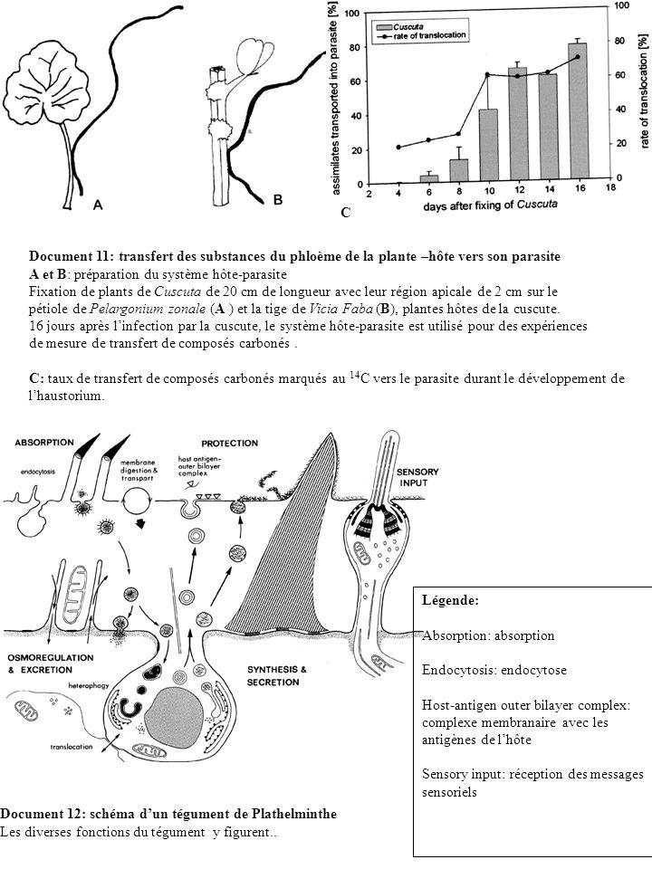 C Document 11: transfert des substances du phloème de la plante –hôte vers son parasite. A et B: préparation du système hôte-parasite.
