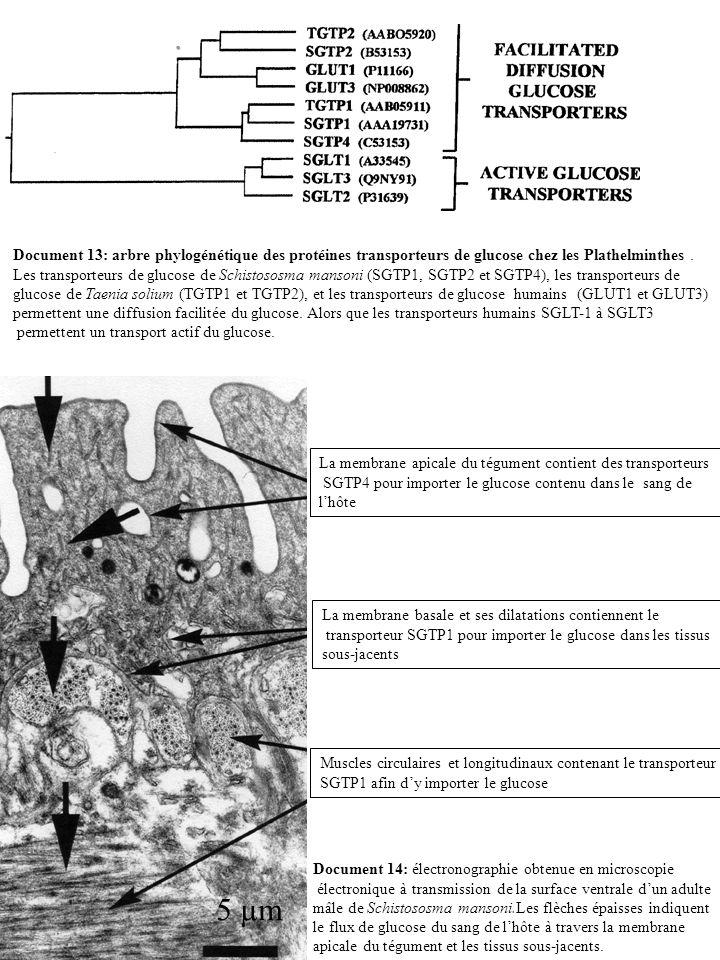 Document 13: arbre phylogénétique des protéines transporteurs de glucose chez les Plathelminthes .