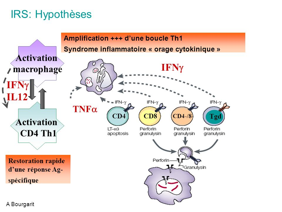 IRS: Hypothèses IFNg IFNg IL12 Activation macrophage CD4 Th1 TNFa