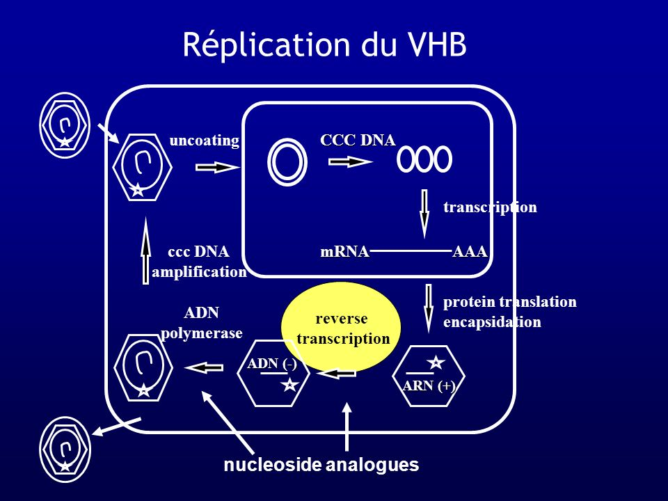 Réplication du VHB nucleoside analogues uncoating CCC DNA
