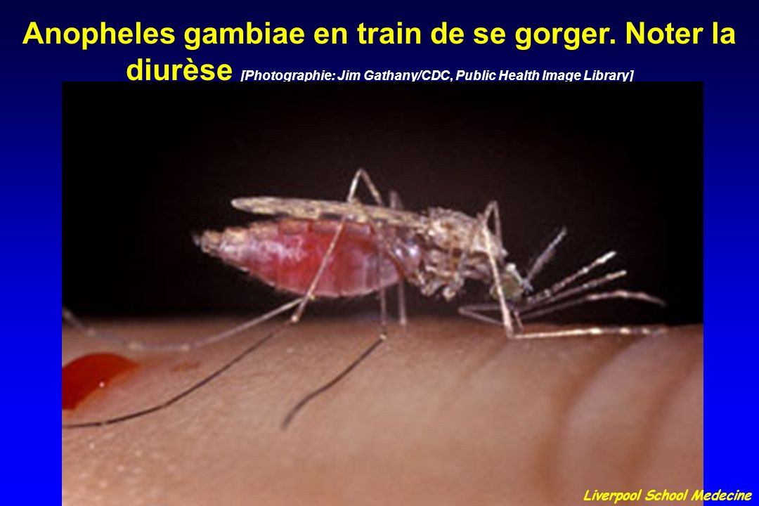 Anopheles gambiae en train de se gorger