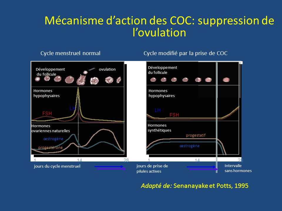 Mécanisme d'action des COC: suppression de l'ovulation