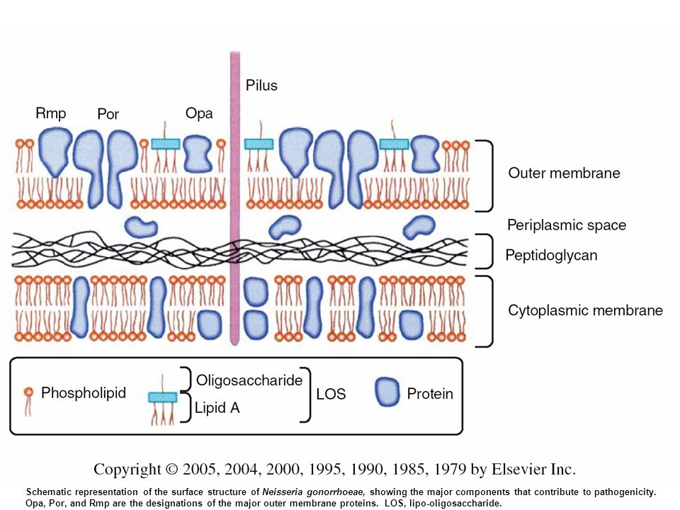 FIGURE 209-1. Schematic representation of the surface structure of Neisseria gonorrhoeae, showing the major components that contribute to pathogenicity. Opa, Por, and Rmp are the designations of the major outer membrane proteins. (see text); LOS, lipo-oligosaccharide.