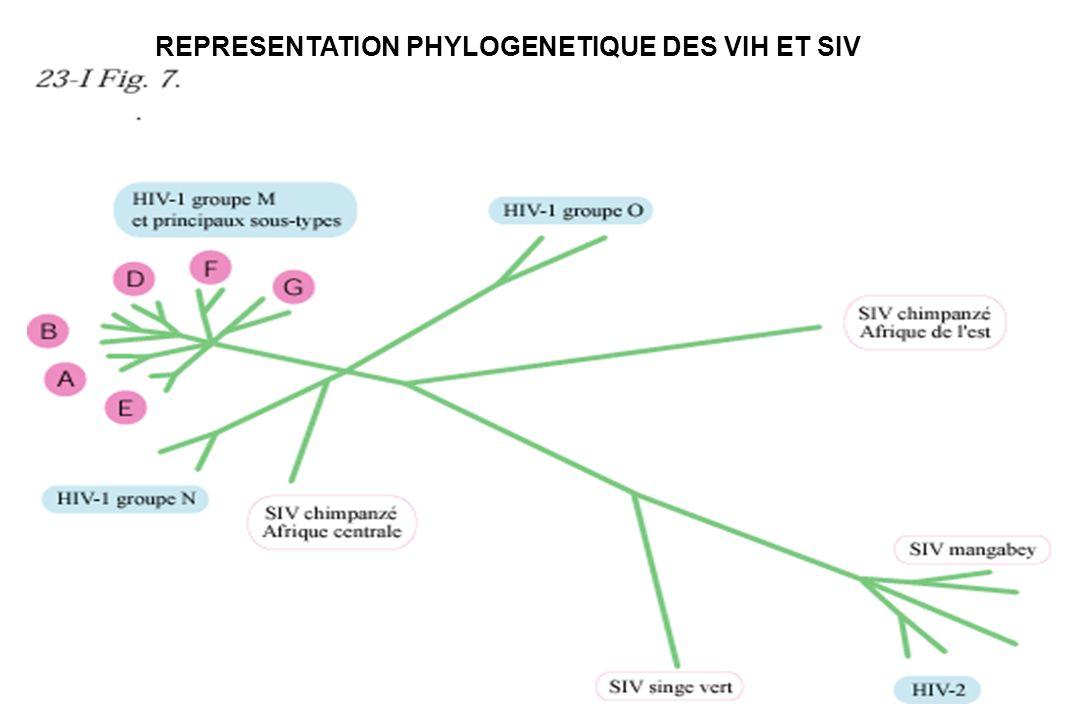 REPRESENTATION PHYLOGENETIQUE DES VIH ET SIV