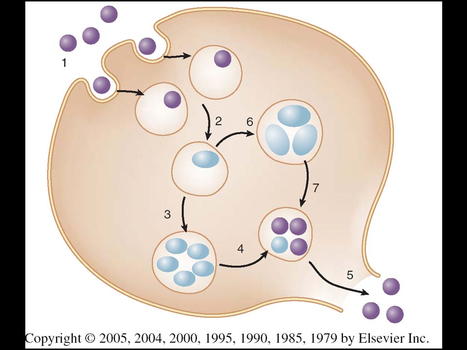 FIGURE 177-2. Life cycle of Chlamydia trachomatis in cell culture
