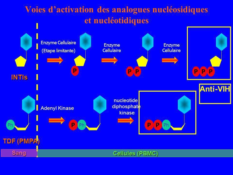 Voies d'activation des analogues nucléosidiques et nucléotidiques