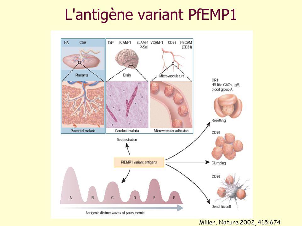 L antigène variant PfEMP1