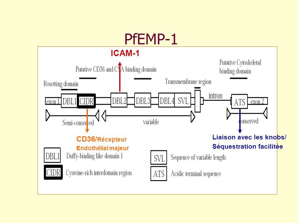 PfEMP-1 ICAM-1 CD36/Récepteur Liaison avec les knobs/