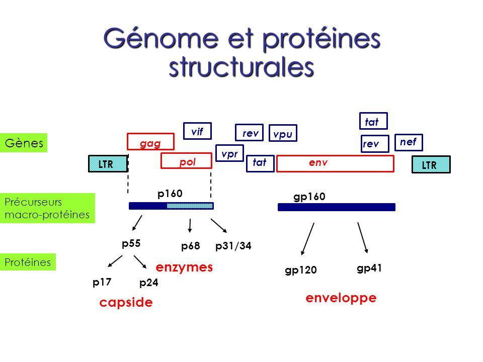 Génome et protéines structurales